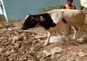 تلاش امداگران برای نجات یک گاو از درون چاه + فیلمهمکاری یک گاو با امدادگران برای نجات از چاه + فیلم