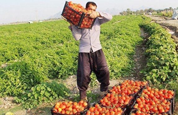 باشگاه خبرنگاران -آغاز خرید حمایتی گوجه فرنگی در کردستان