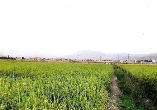 کشت برنج با طعم فاضلاب در دورود؛ ماجرا چیست؟ + تصاویر