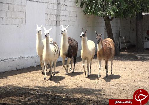 صادرات سلطان جنگل در بابلسر