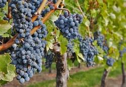 پیش بینی برداشت ۱۱۷ هزار تن انگور سیاه از باغات کردستان