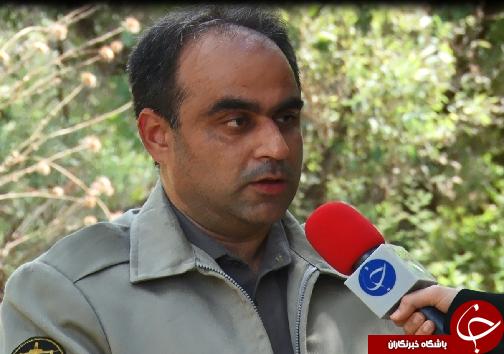گوزن زرد ایرانی، میراثی گرانبها در دل جنگلهای خوزستان+فیلم