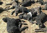 باشگاه خبرنگاران -تلف شدن ۵۷ رأس گوسفند در قروه