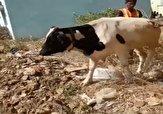 باشگاه خبرنگاران -همکاری یک گاو با امدادگران برای نجات از چاه! + فیلم