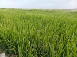 فیلمی از شالیزارهای برنج در «مخلصآباد»