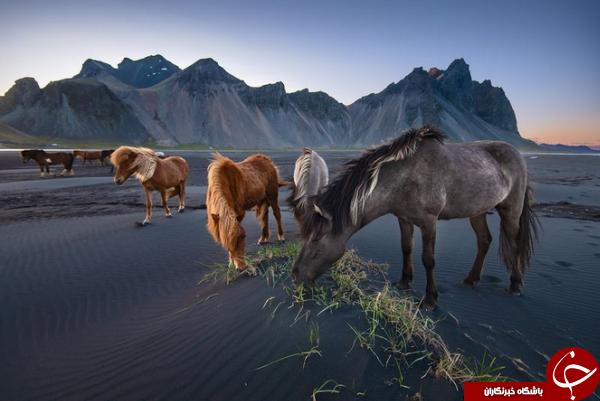 عکس منتخب نشنال جئوگرافیک از اسبهای وحشی در ایسلند