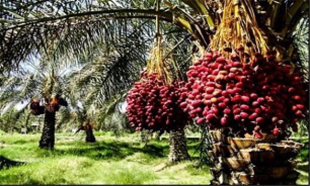 کاهش ۱۰۰ هزار تنی تولید خرما در استان کرمان