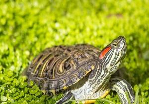 قاچاق لاکپشت گوش قرمز به زیستگاههای طبیعی آسیب میزند