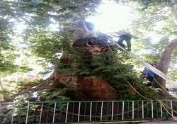 آتش گرفتن درخت چنار ۲۵۰۰ ساله در تویسرکان