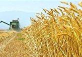 باشگاه خبرنگاران -۲۹۲ هزار تن گندم از کشاورزان لرستانی خریداری شد
