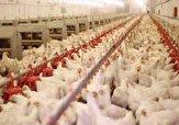 باشگاه خبرنگاران -پرورش بیش از دو میلیون قطعه مرغ گوشتی در قاین