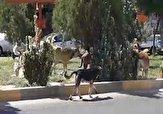 باشگاه خبرنگاران -پرسه سگهای ولگرد در خیابانهای پرند + فیلم