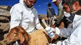 باشگاه خبرنگاران -مایه کوبی دامهای کردستان در مقابله با بیماری طاعون