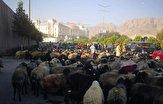باشگاه خبرنگاران -کوچی ها با رها کردن هزاران گوسفند درب پارلمان افغانستان را مسدود کردند!