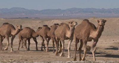 سیستان و بلوچستان، قطب تولید شتر در کشور + فیلم