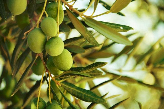پیش بینی برداشت ۱۲۰ هزارتن دانه زیتون/ لزوم افزایش سرانه مصرف روغن زیتون در کشور
