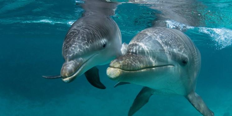 باشگاه خبرنگاران -ویروسهای بدن دلفینها هم در برابر آنتی بیوتیکها مقاوم شدند