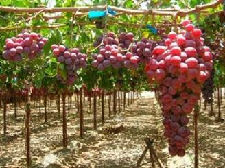 آغاز برداشت انگور از باغات آذربایجان غربی / پیش بینی تولید بیش از ۲۰۰ هزار تن انگور