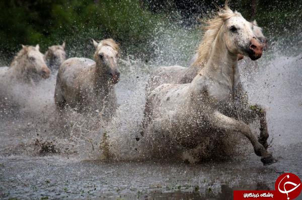عبور اسبهای وحشی از رودخانه؛ عکس منتخب نشنال جئوگرافیک