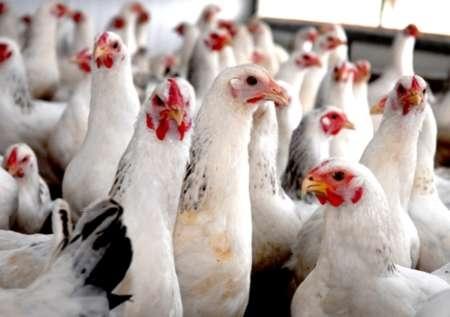 کشف مرغ زنده قاچاق در تویسرکان