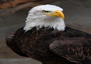 پرواز ۶۰ پرنده شکاری در آسمان همدان