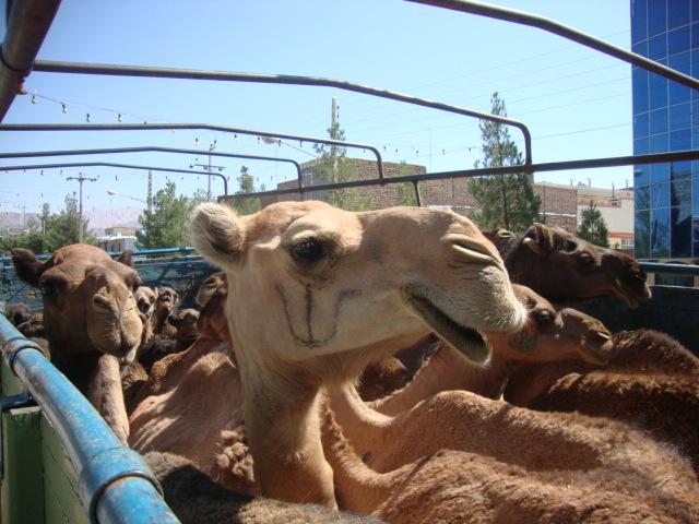 شترسواری دولا قاچاقچیان در انار
