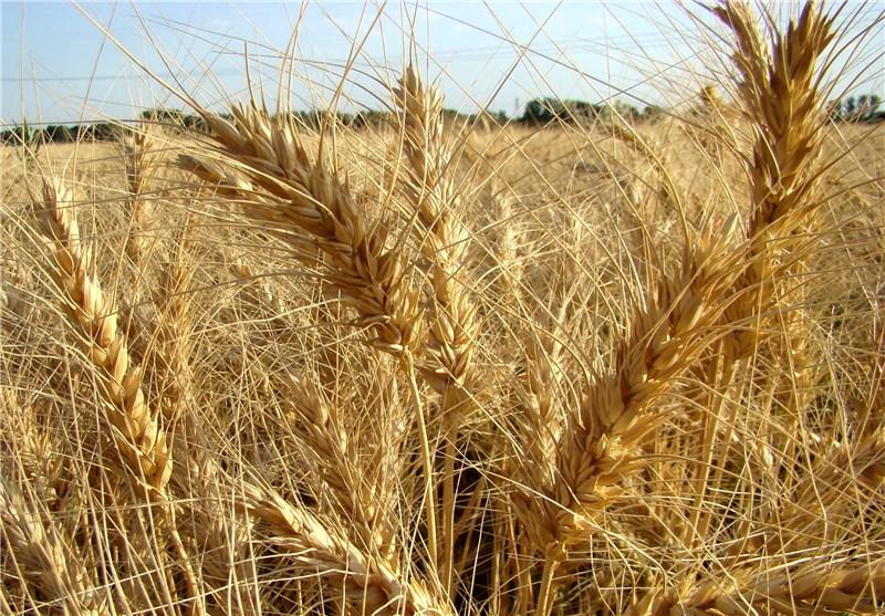 ۴۱۰ هزار تن گندم در همدان خریداری شده است