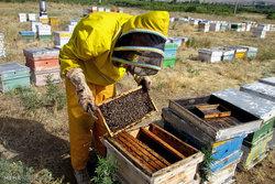 زنبورها سرشماری می شوند