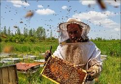 آمارگیری کلنیهای زنبور عسل در کردستان