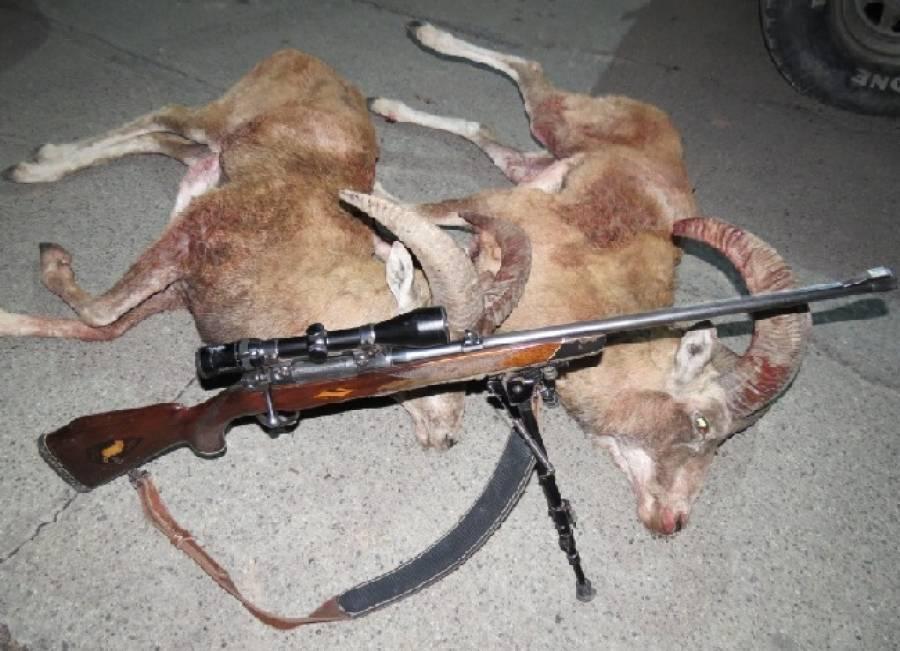 دستگیری سه شکارچی غیر مجاز قوچ وحشی در گناباد