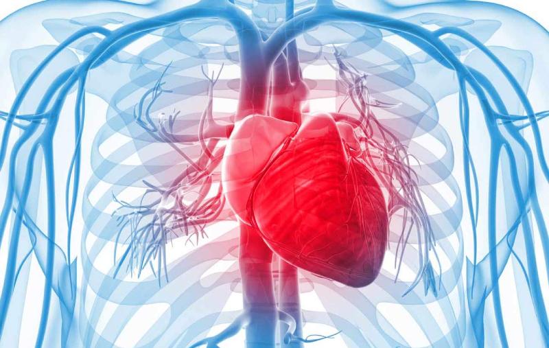 قلب کدام طرف بدن انسان است؟