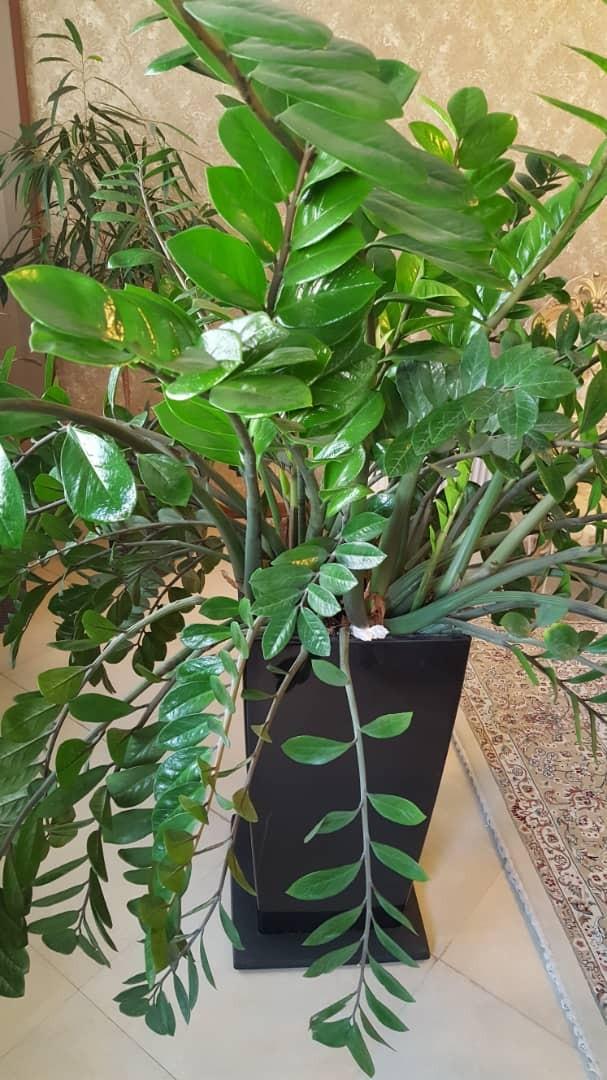 پرورش ۷۰ شاخه گیاه زامفولیا در آپارتمان