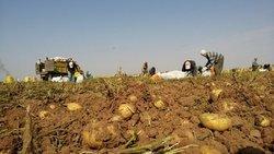 برگزاری جشنواره استانی سیب زمینی در قروه