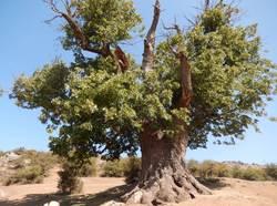 درخت هزار ساله کوف درفک، در فهرست آثار طبیعی ملی ایران