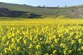تاکید بر مدیریت زمان کشت و رعایت مسائل به زراعی در کشت دانه روغنی کلزا در آذربایجان غربی