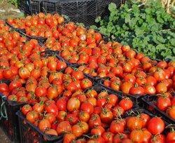 طرح حمایتی خرید گوجه فرنگی آغاز شد