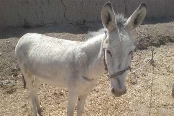 دستگیری عامل حیوان آزاری و همدستش در بهشهر