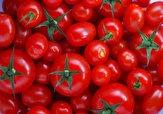 باشگاه خبرنگاران -خرید ۱۸ هزار تن گوجه فرنگی از کشاورزان فارس