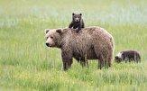 باشگاه خبرنگاران -آخرین جزئیات اجرای برنامه عمل حفاظت از خرس قهوهای