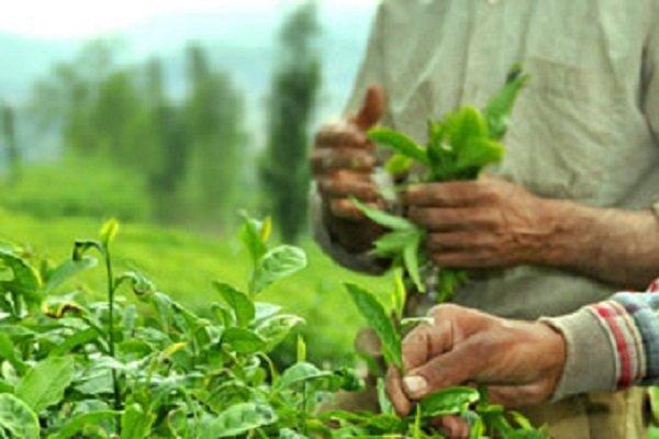 تاثیر افزایش قیمت خرید تضمینی برگ سبز چای در میزان رضایتمندی بین چایکاران