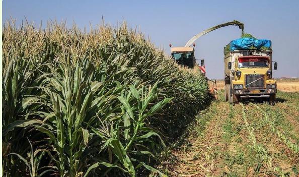 تولید ۱۵۵ هزار تن ذرت علوفهای در نیشابور