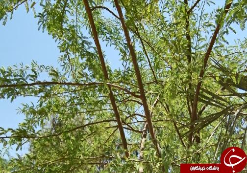 کهور، مهاجر آمریکایی که کمر به خشکاندن ریشههای تنفسی خوزستان بسته است+فیلم