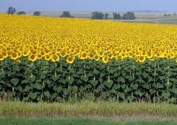 رداشت ۸۰۰ تن آفتابگردان از مزارع نهاوند
