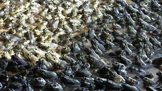 مستندی مبنی بر تولید و صادرات قورباغه وجود ندارد