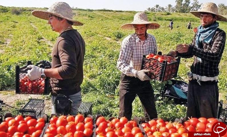 افزایش ۵۰ درصدی کشت گوجه فرنگی باعث ضرر کشاورزان در میاندوآب شد