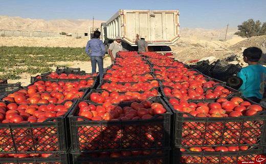 گوجه فرنگی کاران استان نگران فروش گوجه های خود نباشند