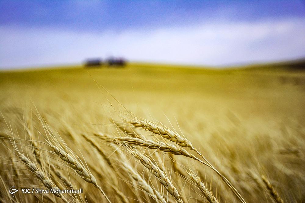 احتمال واردات گندم در سال زراعی آینده/ کشاورزان خواستار صادرات گندم به خارج از مرزها هستند