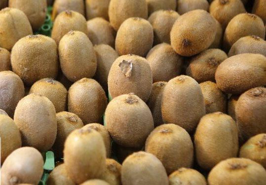 آغاز صادرات کیوی گیلان به روسیه