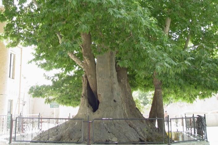 عامل قطع ۴۸ اصله درخت دستگیر شد