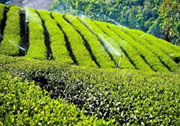باشگاه خبرنگاران - رئیس سازمان چای کشور:۸۰ درصد مطالبات چایکاران استانهای شمالی پرداخت شد